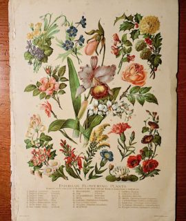 Vintage print Familiar Flowering Plants, 1919 ca.