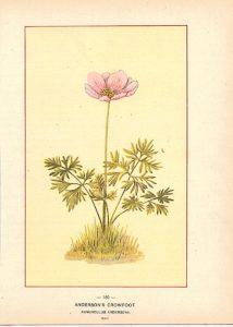 Anderson's Crowfoot, Ranunculus Anderson, 1904