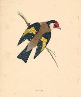 Antique Bird Print of Goldfinch, 1880