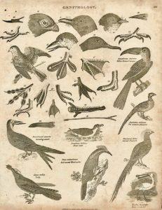 Antique Engraving Print, Ornithology, 1811