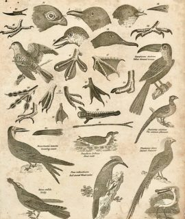 Antique Engraving Print, Ornithology, 1811