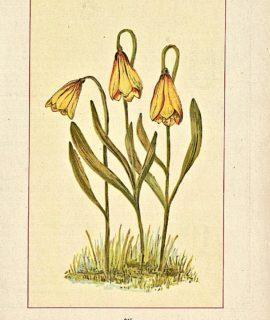 Vintage Print, Fritillary, Fritillaria Pudica, 1904