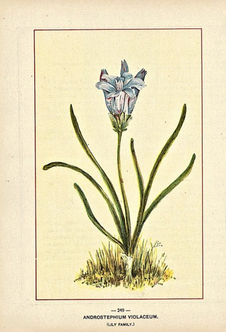 Vintage Print, Androstephium Violaceum, 1909