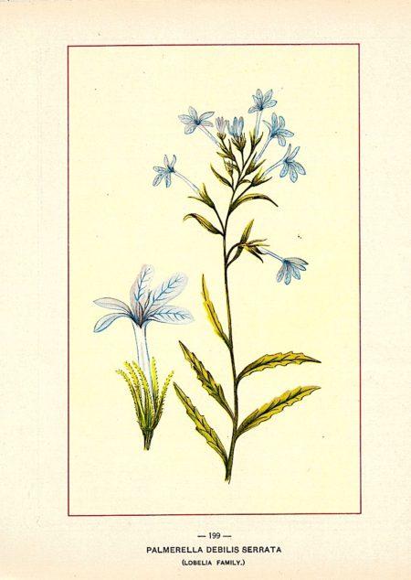 Vintage print, Palmerella Debilis Serrata (Lobelia Family), 1909