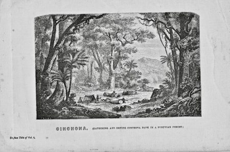 Antique Engraving Print, Cinchona in a Peruvian Forest, 1867