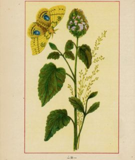 Vintage print, Nepeta Cataria