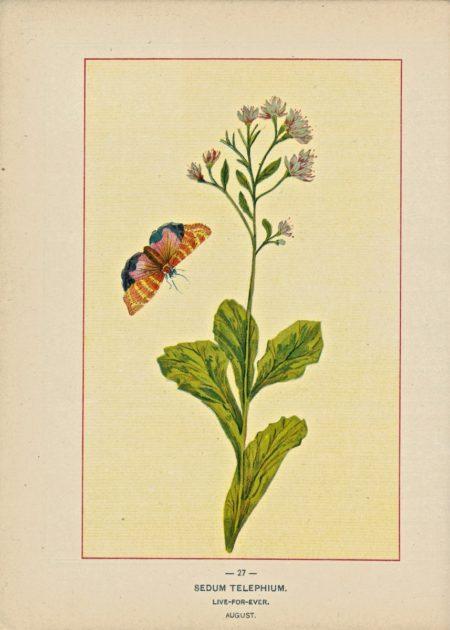 Vintage print, Sedum Telephium