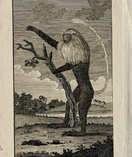 Antique Engraving Print, Full-bottom Monkey, 1793