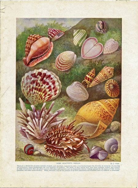 Antique Print, Some Beautiful Shells, 1886 ca.