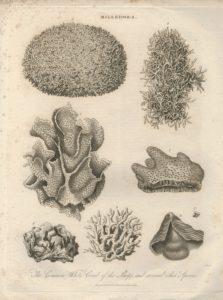 Antiques Engraving Print, Millepora, 1817