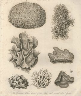 Antique Engraving Print, Millepora, 1817
