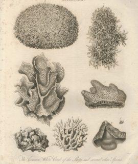 Antique Engraving Print, Millepora, 1817