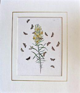 Antique Botanical Print, 1840