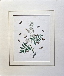 Antique Botanical Print, 1840 ca.