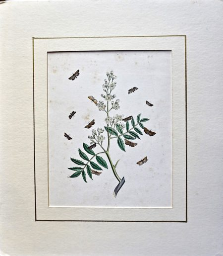 Antique Botanical Print, 1840 ca.