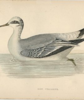 Antique Print, Grey Phalarope, 1880