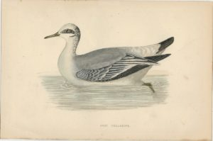 Antique Print, Grey Phalarope, 1880