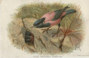 Antique Print, Rose Coloured Starling, 1890