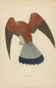 Antique Print, Kestrel, 1880