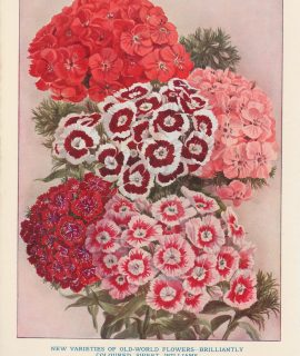 Vintage Print, New Varieties of Old-World Flowers, 1890 ca.