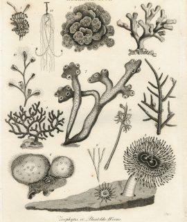 Antique Engraving Print, Helminthology, 1808