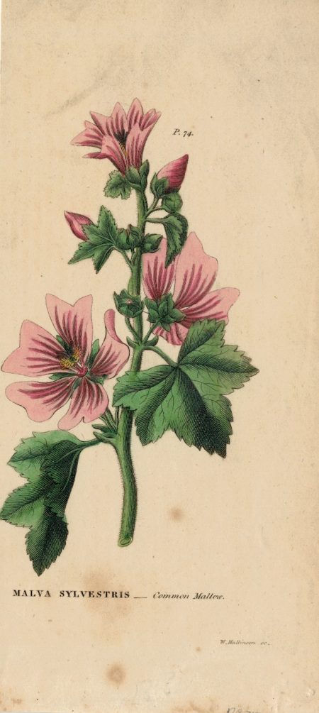 Antique Engraving Print, Malva Sylvestris, 1818