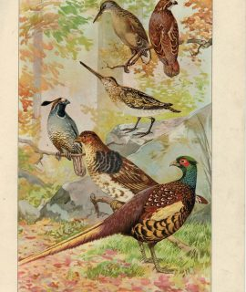 Vintage Print, Common Game Birds, 1903