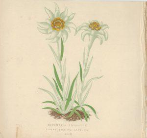 Antique Print, Micomeria Piperella, Leontopodium Alpinum, 1873