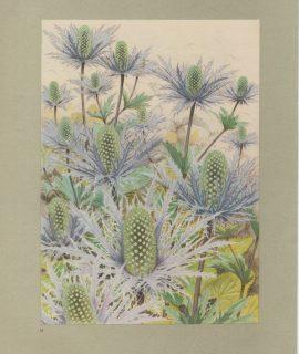 Vintage Print, Alpine Sea Holly, 1925 ca.
