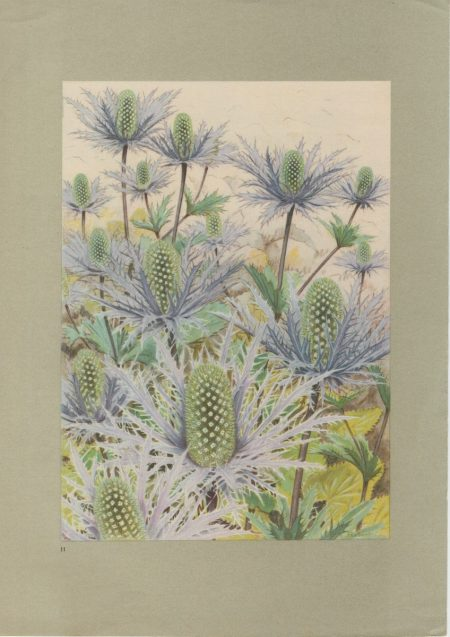 Vintage Print, Alpine Sea Holly, 1925 ca.
