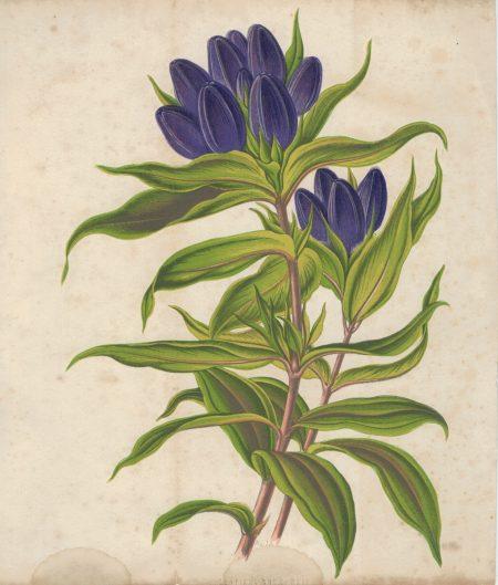 Antique Botanical Print, Gentiana, 1873