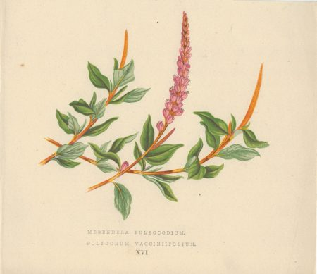 Antique Print, Merendera Bulbocodium, 1873