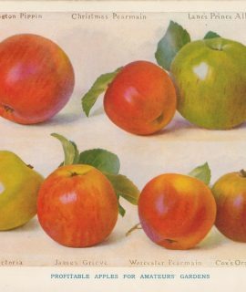 Vintage Print, Profitable Apples for Amateurs' Gardens, 1902