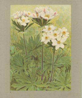Vintage Print, Narcissus Flowered Anemone, 1925 ca.