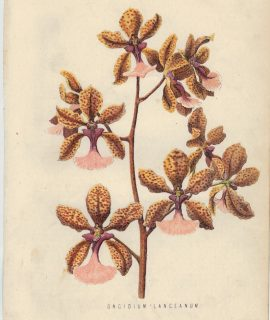 Rare Antique Print, Oncidium Lanceanum, 1873