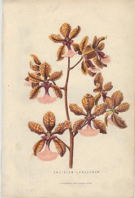 Rare Antique Print, Oncidium Lanceanum, 1873