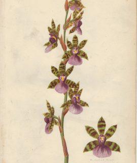 Antique Print, Zygopetalum Maxillare Var. Andersonianum, 1873