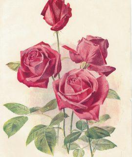 Vintage Print, Hybrid Tea Rose, 1904