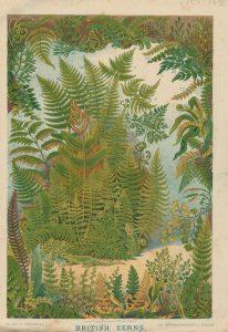 Vintage Print, British Ferns, 1886