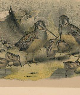 Vintage Print, Birds, 1881