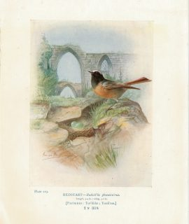 Vintage Print, Redstart, Ruticil'la phoenicu'rus, 1880 ca.