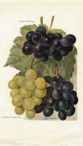 Vintage Print, grapes varieties, 1886