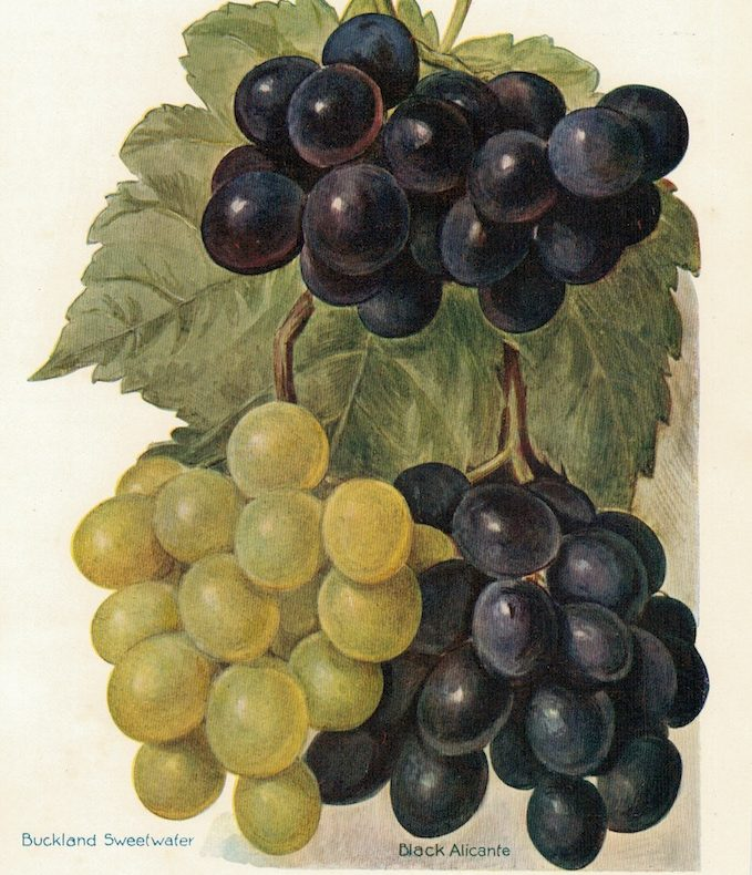 Vintage Print, grapes varieties, 1886