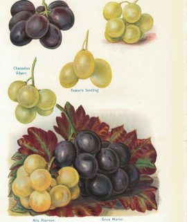 Vintage Print, fruit, grape varieties, 1886 ca.