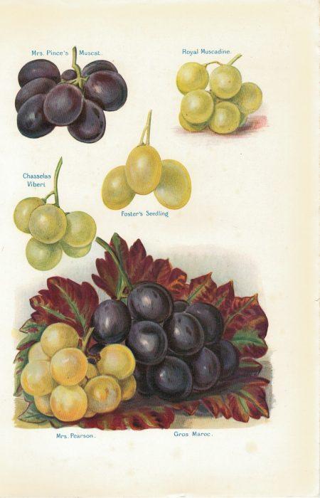 Vintage Print, fruit, grape varieties, 1886 ca.