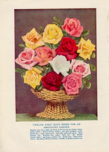 Vintage Print, Twelve First Rate Roses for an Amateur's Garden, 1902 ca.