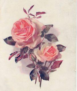 Vintage Print, A Climbing Tea Rose, 1903