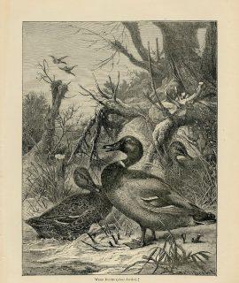 Vintage Print, Wild Ducks, 1870 ca.