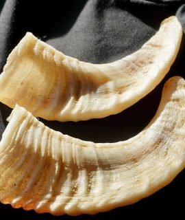 Horns pair of Ovis Canadensis