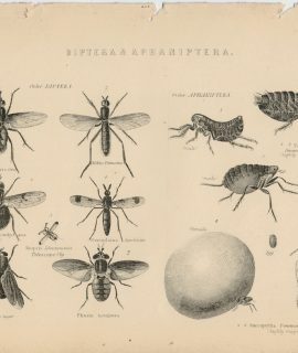 Antique Print, Diptera & Aphaniptera, 1870